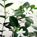 季節の花苗セイロンライティア■新鮮花壇苗■セイロンライティア9cmポット