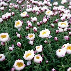 ハナカンザシオフシーズン■新鮮花壇苗■花かんざし(ハナカンザシ)10.5cmポット