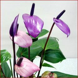 季節の鉢花アンスリウム■新鮮鉢花■アンスリュームフィオリーノ Φ18cm鉢