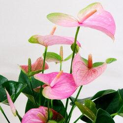 季節の鉢花アンスリウム■新鮮鉢花■アンスリュームパンドラ Φ18cm鉢