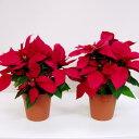 SALE!季節の鉢花ポインセチアSALE ■新鮮鉢花■ポインセチアレッド5号鉢 2個セット