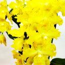 周りを明るく照らす黄色の花!オフシーズン■新鮮鉢花■オドントグロッサムフォルトゥーナ6号鉢...