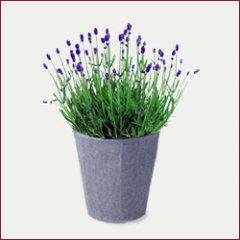 ■母の日ギフト鉢花■イングリッシュラベ...