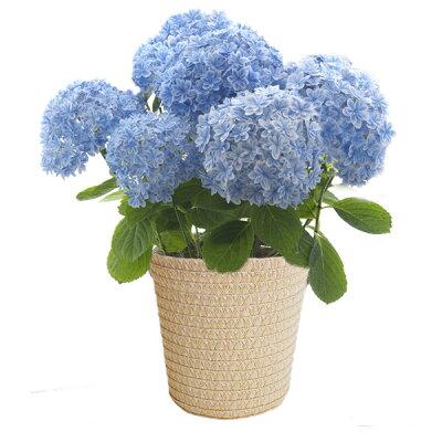 【送料無料!日付指定可!】■母の日ギフト鉢花■アジサイ万華鏡 ブルー5号オリジナルカバー入り【…