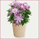【送料無料!日付指定可!】■母の日ギフト鉢花■クレマチス ベル ジョセフィーヌ5…