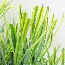 ■新鮮花壇苗■斑入りイングリッシュラベンダープラチナブロンド7.5〜9cmポット苗