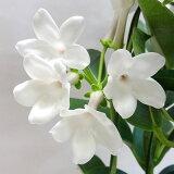 ■新鮮花壇苗■マダガスカルジャスミン4号鉢