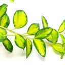 ■新鮮花壇苗■ヒメツルニチニチソウイルミネーション(ビンカ ...