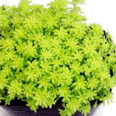 セダム苗■ 多肉植物 ■セダム細葉黄金万年草9cmポット苗 2個セット