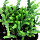 セダム苗■ 多肉植物 ■セダム若緑9cmポット苗 2個セット
