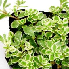 セダム苗■多肉植物 ■セダム斑入りマルバマンネングサ9cmポット苗 2個セット