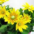 ■良品花壇苗■再入荷!ルドベキア大輪 プレーリーサン10.5cmポット