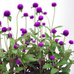 季節の花苗センニチコウオフシーズン■新鮮花壇苗■千日紅 ローズネオン