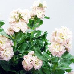 アンティークな色合いストック季節の花苗■新鮮花壇苗■ストック ビンテージシルバーリーフマー...