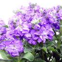 季節の花苗ストック■新鮮花壇苗■ストック ビンテージシルバーリーフラベンダーブルー