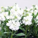 季節の花苗ストック■新鮮花壇苗■ストック ビンテージシルバーリーフホワイト