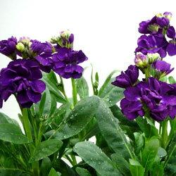 季節の花苗ストック■新鮮花壇苗■ストック ビンテージシルバーリーフパープル