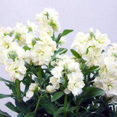 季節の花苗ストック■新鮮花壇苗■ストック ビンテージシルバーリーフマーブルホワイト