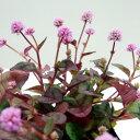 ■新鮮花苗■ポリゴナム(ヒメツルソバ)ビクトリーカーペット05P09Jan16