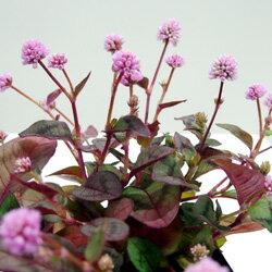 金平糖のような花!ヒメツルソバ季節の花苗■新鮮花苗■ポリゴナム(ヒメツルソバ)ビクトリー...