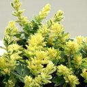 ロータス ブリムストーン■新鮮花壇苗■ふわふわかわいい!ロータス ブリムストーン3号ポット