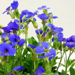 オーブリエチア■新鮮花壇苗■かわいいカーペットにオーブリエチア3.5号ポット