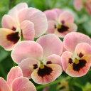 季節の花苗■見元 ビオラ&パンジー■ビオラピンクコアラ10.5cmポット