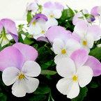 【ご予約商品♪ご予約区分D】■良品花壇苗■ワダフラワーのビオラホワイトローズウィング10.5cmポット苗