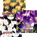 季節の花苗球根■新鮮花壇苗■クロッカス 芽出し苗9cmポット