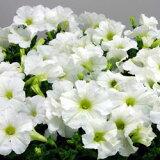 ■良品花壇苗■秋山さんのペチュニアホワイト