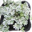 セダム苗■ 多肉植物 ■セダムケープブランコ9cmポット苗 2個セット