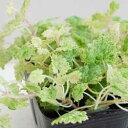 季節の花苗グレコマ■新鮮花壇苗■グレコマ ライムミント9cmポット