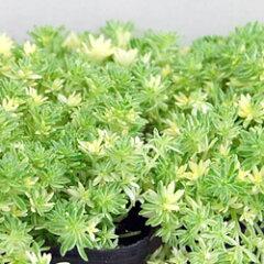 セダム苗■ 多肉植物 ■セダムミルクゥージ9cmポット苗 2個セット