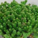 セダム苗■ 多肉植物 ■セダムサクサグラレ モスグリーン9cmポット苗 2個セット