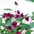 ■新鮮花壇苗■アルテルナンテラ千紅花火(センコウハナビ)9cmポット