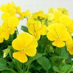 【ご予約商品♪ご予約区分D】■良品花壇苗■ワダフラワーのビオラクリアイエロー10.5cmポット苗