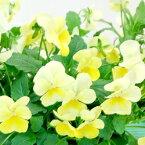 【ご予約商品♪ご予約区分D】■良品花壇苗■ワダフラワーのビオラレモンシフォン10.5cmポット苗