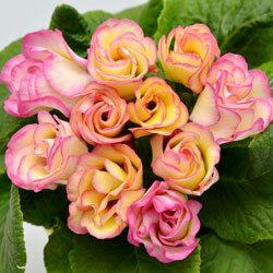 【シーズン限定!特別!】■新鮮花壇苗■八重咲きプリムラプリンアラモード10.5cmポット