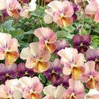 【ご予約商品♪ご予約区分D】■良品花壇苗■ワダフラワーのビオラなごみももか しんしん10.5cmポット苗