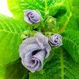 ■新鮮花壇苗■プリムラ ジュリアンシルバーブルー 9cmポット