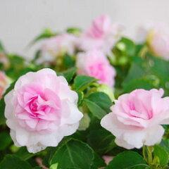 季節の花苗インパチェンス■良品花壇苗■秋山さんの八重咲きインパチェンスプリンセスピンク10.5cm