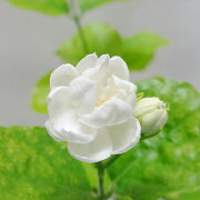 八重咲き マツリカアラビアジャスミンピカケ