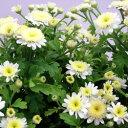 マトリカリア■新鮮花壇苗■ハーブとしても有名!マトリカリア3.5号ポット