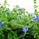 季節の花苗 アメリカンブルー■新鮮花壇苗■アメリカンブルー