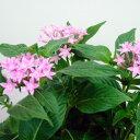 季節の花苗 ペンタス■新鮮花壇苗■ペンタス ピンク