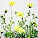 季節の花苗コスモス■新鮮花壇苗■コスモスイエローキャンパス