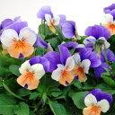 季節の花苗ビオラ■良品花壇苗■ワダフラワーのビオラペニーピーチジャンプアップ10.5cmポット苗