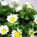 優良生産者の逸品!ノースポール季節の花苗■良品花壇苗■ワダフラワーのノースポール10.5cmポ...