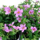 季節の花苗大輪バコパ■良品花壇苗■大輪バコパコピア ピンク