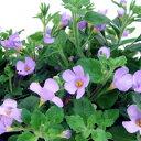 季節の花苗大輪バコパ■良品花壇苗■大輪バコパコピア ラベンダー